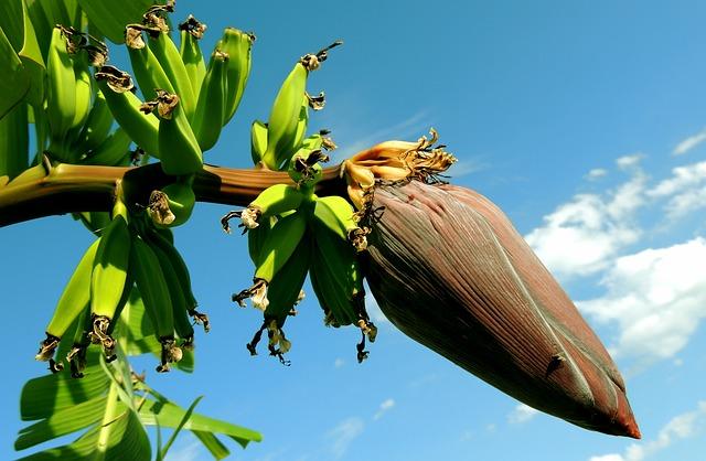 banánový strom
