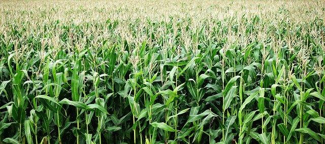 kukuřice rostoucí na poli